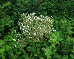 Valeriana_officinalis_______06_07_2003_1