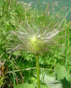 fleurebourrifee