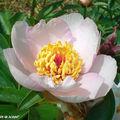 Pivoines • Pæonia suffruticosa blanc-rosé