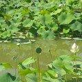 lotus verts