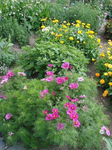 2008 08 25 Mes cosmos, belle de nuit, mélange de fleurs pour abeilles et mélange de fleurs d'été