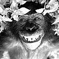 Bonobo, ou la paix sociale?