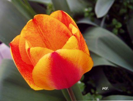 1_tulipe