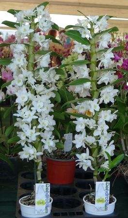 ORCHIDEES_BLANCHES