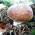 Jeune cèpe de Bordeaux près des racines d'un sapin...