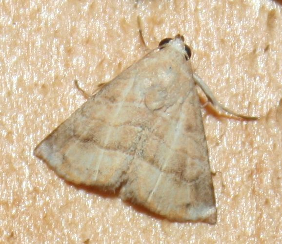 Eublemma baccalix