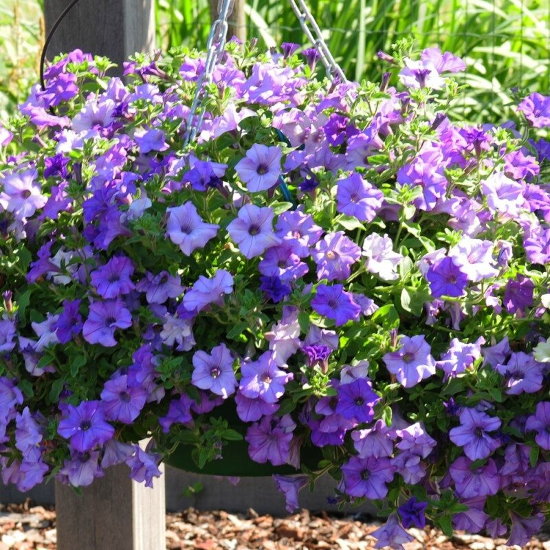 petunia-surfinia-heavenly-blue
