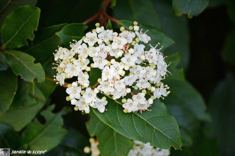 Laurier-Tin • Viburnum Tinus