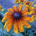 2008 10 25 Une fleur de rudbeckia