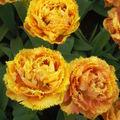 Tulipes jaune/orangée frisée.