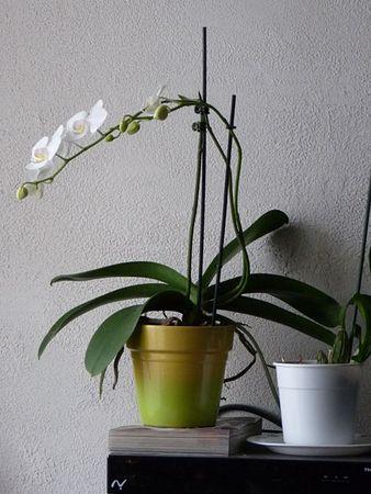 Orchidee_31_12_10__4_
