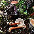Austroboletus_gracilis_montage