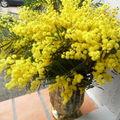 mimosa en vase