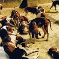 La meute de chiens de Cheverny