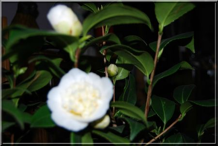 camelia 014b