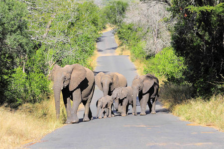 El_phants_de_savane__r_serve_de_Hluhluwe__Afrique_du_Sud