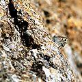 Némusien - Lasiommata maera (2)