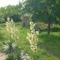 fleurs de yucca, Poucelly (Léa)