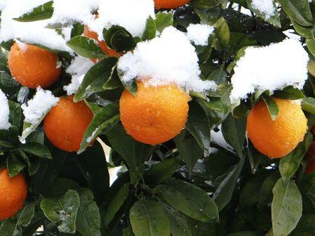 Oranges sous la neige