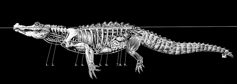 alligator-anatomie