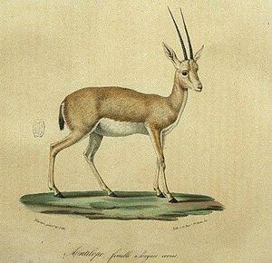 Antilope--femelle-a-longues-cornes