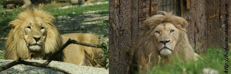 LIONS DU KALAHARI ET DU TRANSVAAL