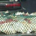 Pauvres poulet le dernier voyage!