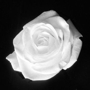 rose-blanche1
