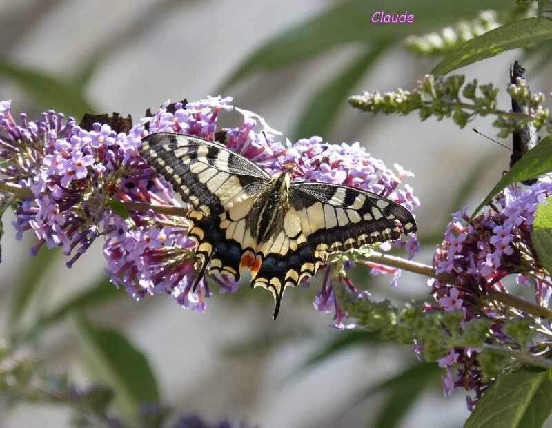 machaon 1