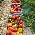 2 aout - tomates.....pause ne veut pas dire terminé.....