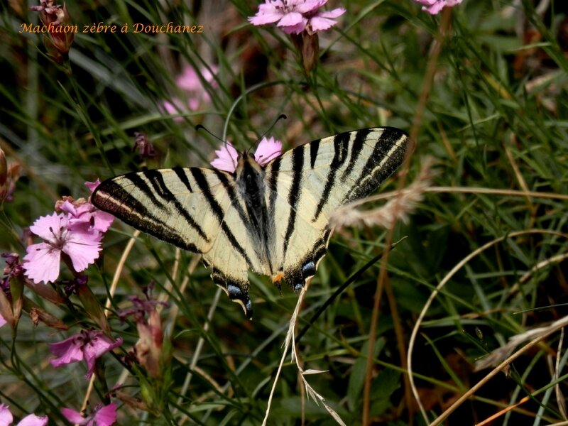 Machaon Zèbre