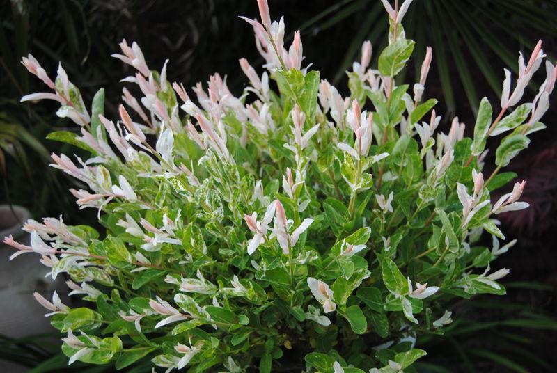 Saule crevette photo de photos de flfeurs printani re et autres fleur et amiti - Quand tailler un saule crevette ...
