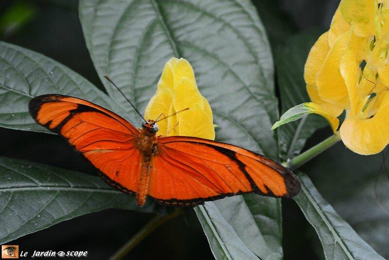Dryas iula • Heliconiidae