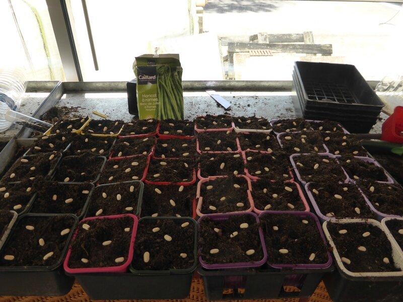 13-semis haricots (2)