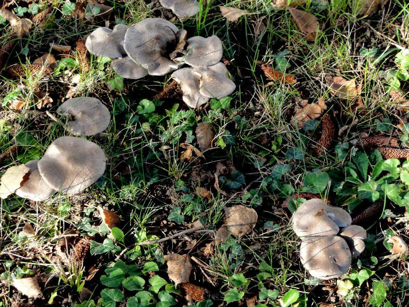 champignon-05899 (4)