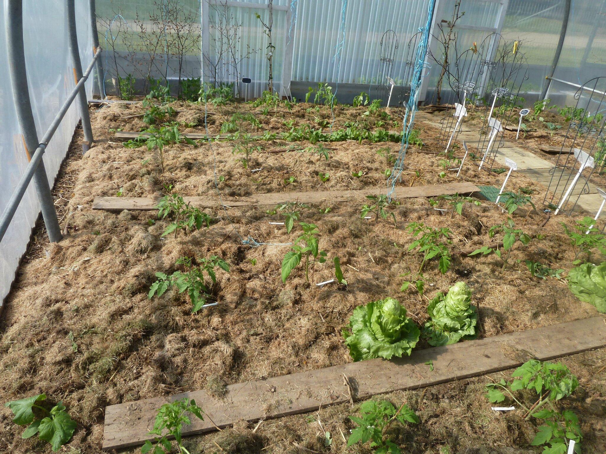 1-serre et tomates plantées (1)