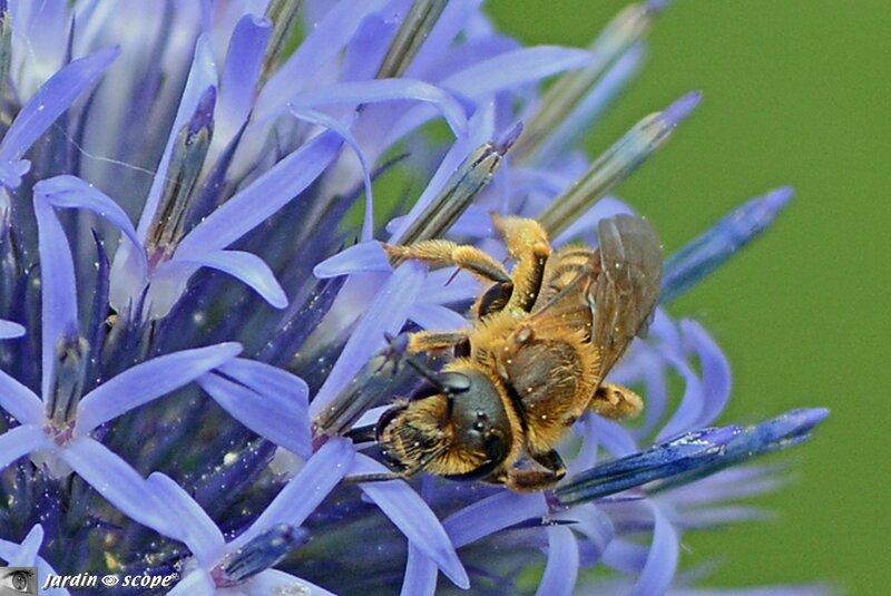Abeille sur inflorescence d'Echinops