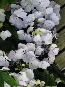 hortensia_dec_07_012__Medium_