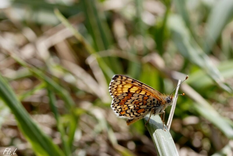 Mélitée du Plantain (Melitaea cinxia) 2