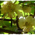 fleurs KIWI