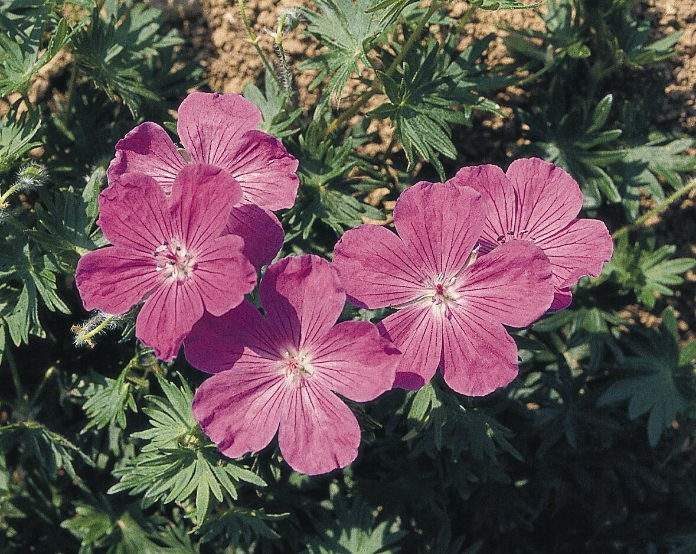 geranium vivace une brindille au jardin. Black Bedroom Furniture Sets. Home Design Ideas