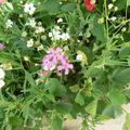 fleurs du jardin et autres 20 07 2010 045