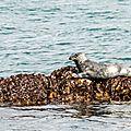 Phoque gris - Halichoerus grypus (9)