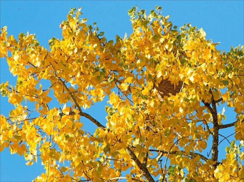 Peupliers nid frelon asiatique automne 141116