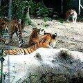 Parc zoologique et botanique de mulhouse : les tigres