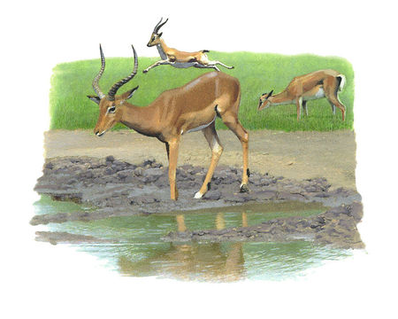 Gazelles___copie