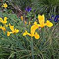 iris z. hollandica ? (jardin)