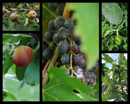 Jardin_au_retour_fruits