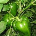Salade d'été du jardin aux figues gratinées pour lavande