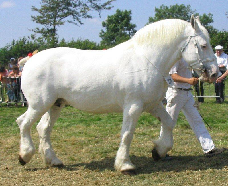 cheval de trait blanc